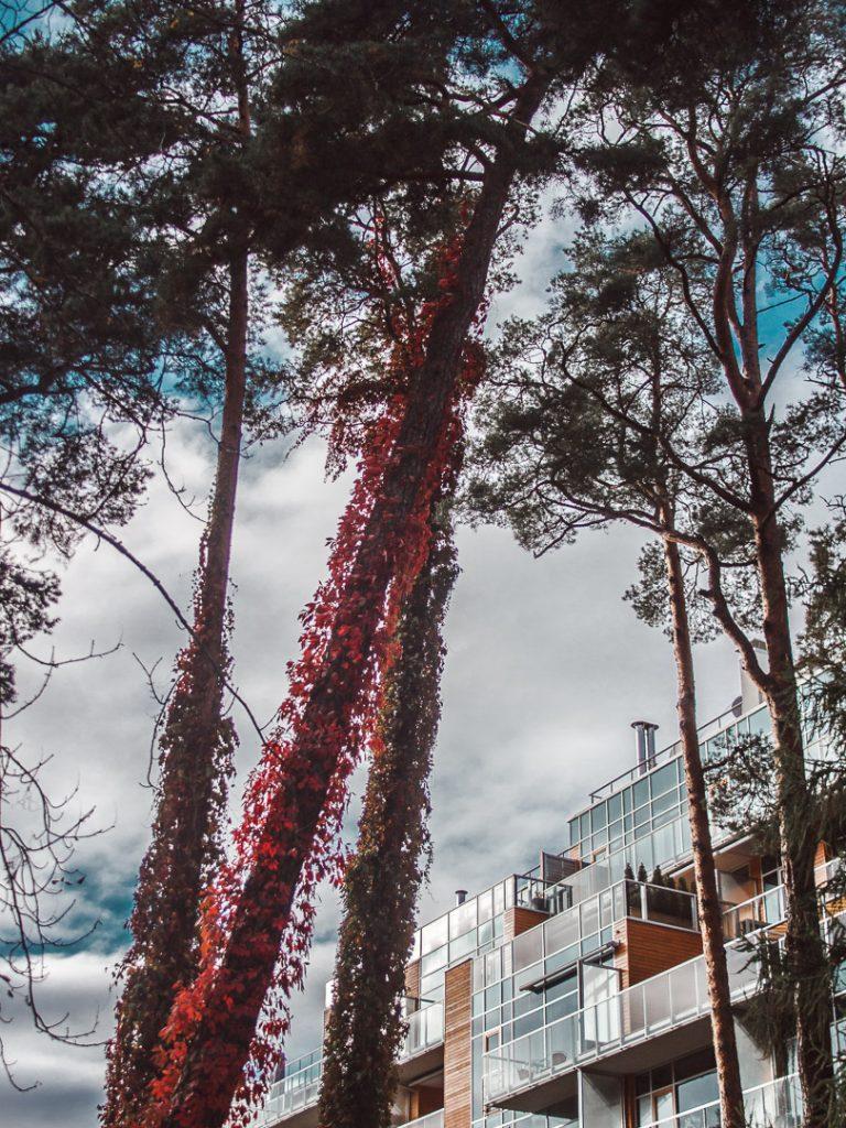 latvia red trees